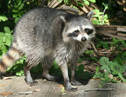 common raccoon صور الراكون   Photo Raccoon