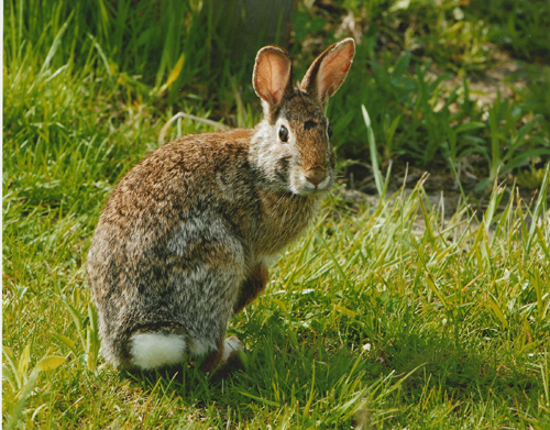 Management of Rabbits  Exotic and Laboratory Animals