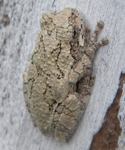 Gray treefrog on a house
