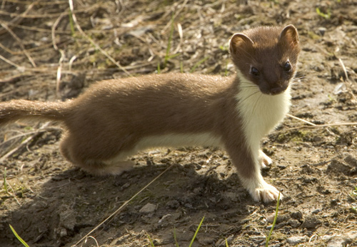 Baby short tailed weasel - photo#14